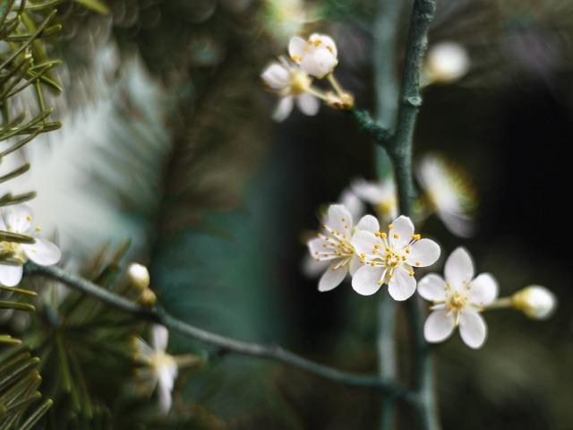 Kvetoucí barborky