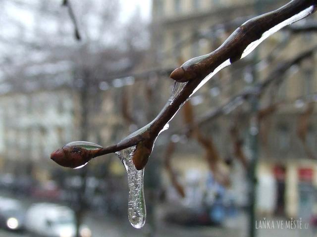 Větvička ovocného stromu v zimě
