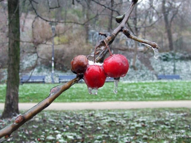 Větvička se zmrzlými plody na Petříně